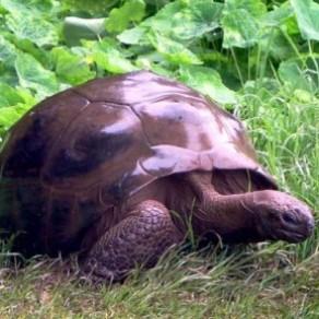 La tortue Jonathan, 186 ans, est le doyen des gays de la planète - Insolite