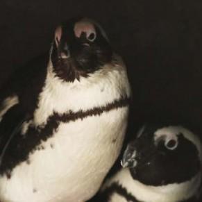 Deux pingouins gays volent un œuf à leurs voisinnes lesbiennes pour devenir pères - Pays-Bas / Zoo